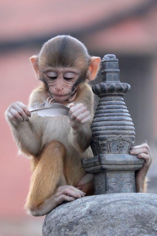 обезьяна, непал, катманду, ребенок, любопытство, monkey, nepal, kathmandy, kid, curiosity Детское любопытствоphoto preview