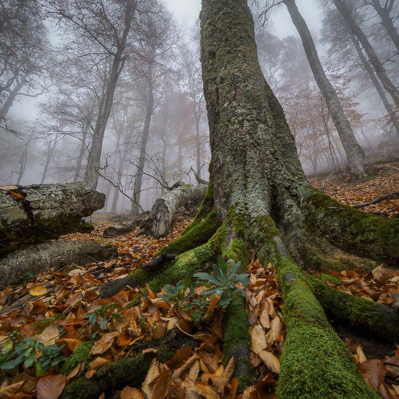 крым, crimea, осень, заповедник, дорога, алушта, туман, дерево Лапы Крымских драконовphoto preview
