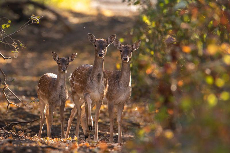 животные, лес, олень, олени, осень Малышиphoto preview