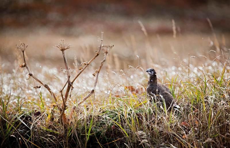 тундряная куропатка, птица, осень, остров беринга Тундряные куропатки. Осень.photo preview