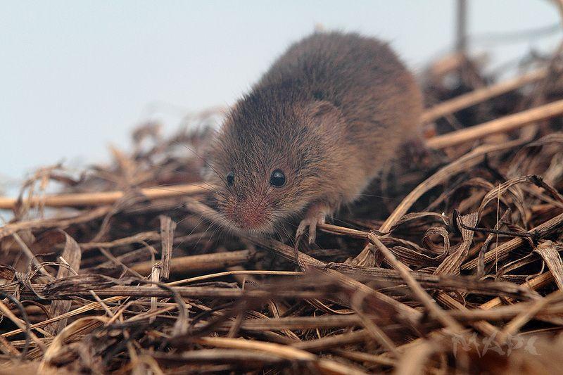 животные мышь грызун осень Живу я тутphoto preview