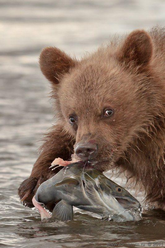 камчатка, медведь, озеро курильское, нерка Первый улов.photo preview