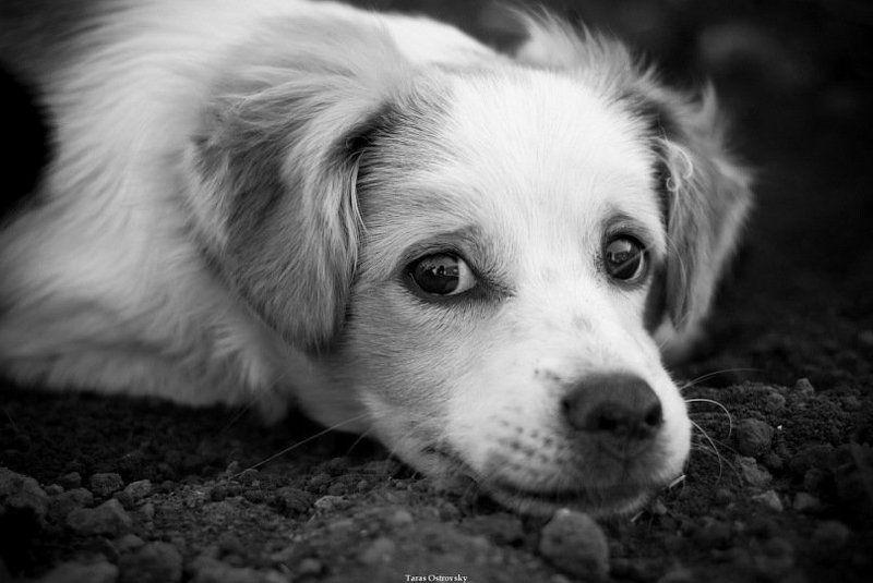 собака, собаки, животные, ч/б Сэмюэльphoto preview