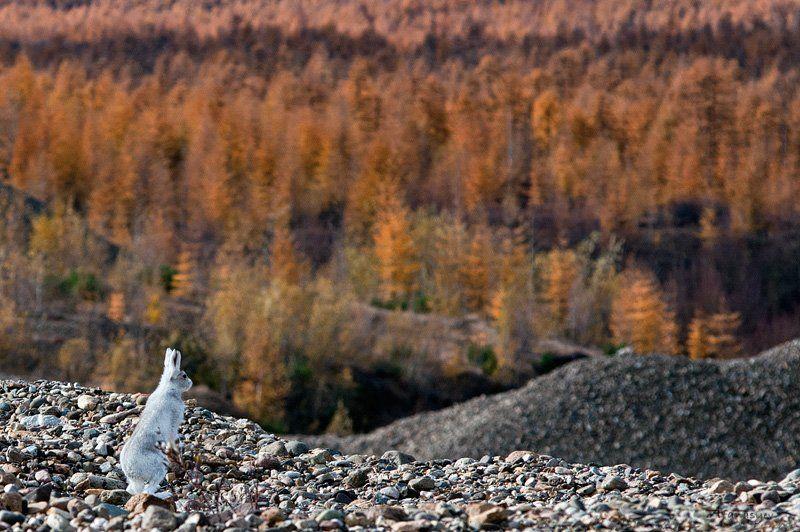 заяц, заяц беляк, магадан, колыма, осень, животные, стойка, лапки, уши, глаза, ну где-ты трын-траваphoto preview