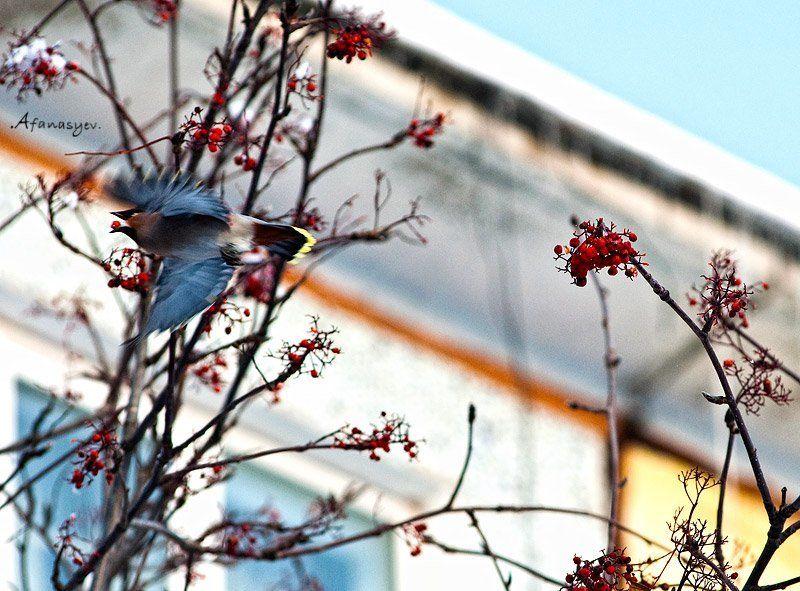 рябина, ягода, птица, полет, зима, магадан, главное не уронить....photo preview