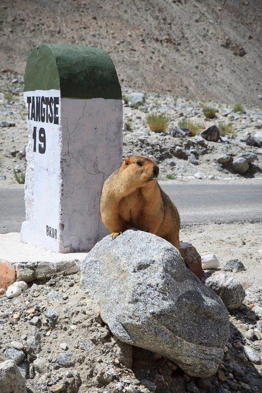marmot,  сурок, ладакх, пангонг тсо Marmot in the wildphoto preview