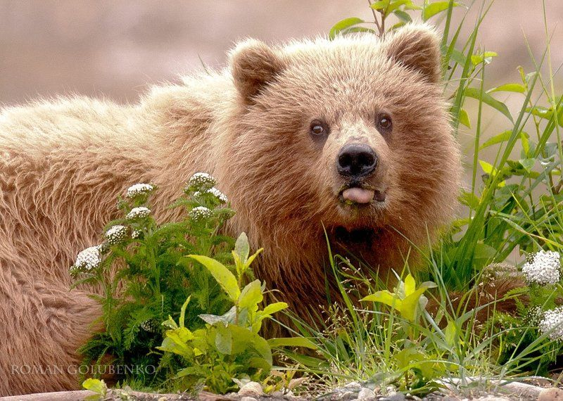 Наш ответ охоте на медведей / Our responce to Alaska\'s policy of killing grizzly bearsphoto preview