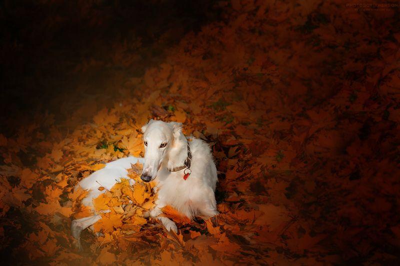 собака, борзая, осень, солнце Луч солнцаphoto preview