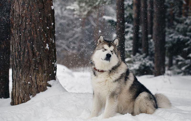 маламут, снег, снегопад, лес, природа, животные, собака Снежная ваннаphoto preview