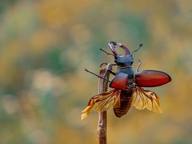 макро, насекомые, жук-олень, крылья, полёт Поехали!photo preview
