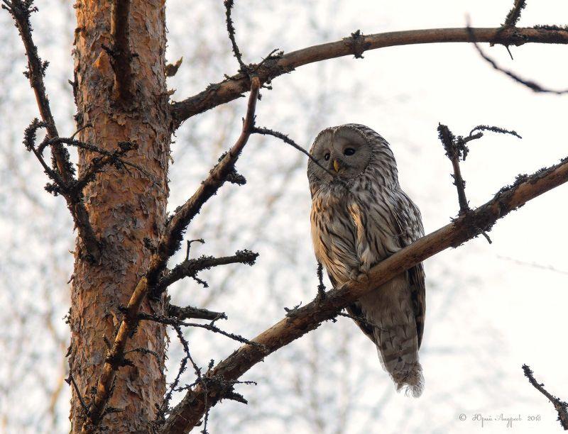 неясыть длиннохвостая сова утро сосна Неясытьphoto preview