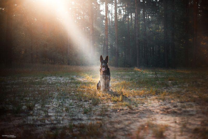 собака, природа, лес, овчарка, девушка, лучи солнца Утроphoto preview