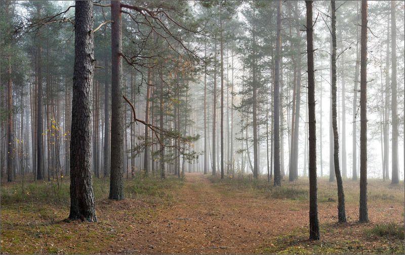 лес туман утро сосны Дорожка в туманphoto preview