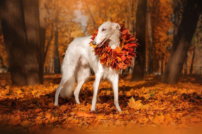собака, борзая, осень, портрет Азазель в листьях photo preview