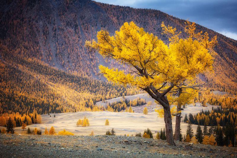 алтай сентябрь курай лиственница осень золото горы чуя дерево ***photo preview