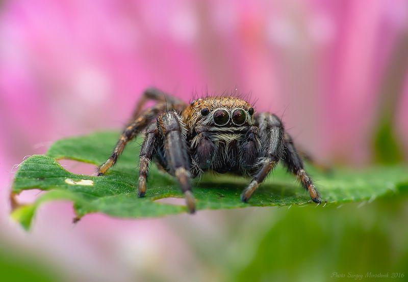 паук, макро, паук скакун, украина, киев, красиво, природа, лето, июнь, цветок, глаза, насекомое, растение Неожиданная встреча.photo preview