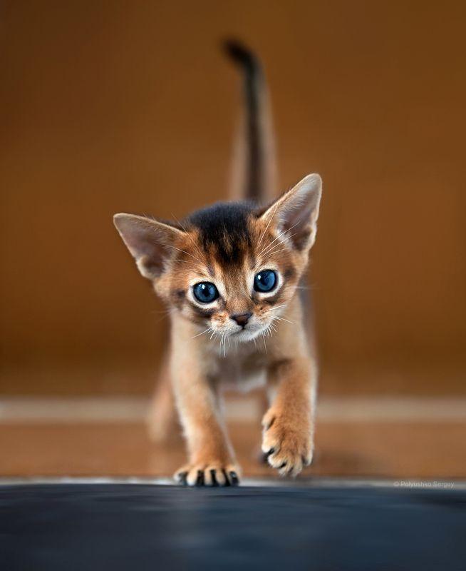 котенок Абиссинский котенокphoto preview