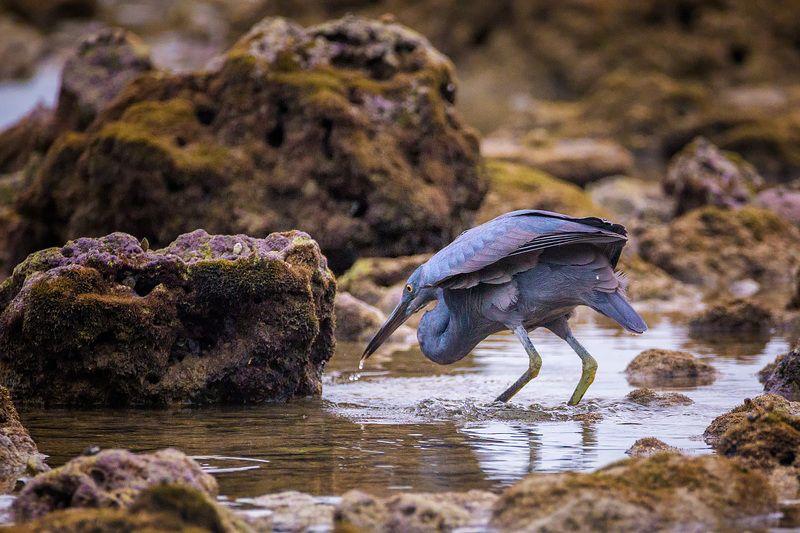 цапля,охотник,птица,животные Охотникphoto preview