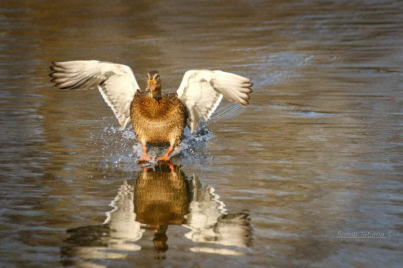 птицы, утка, озеро, вода, крылья На посадкуphoto preview
