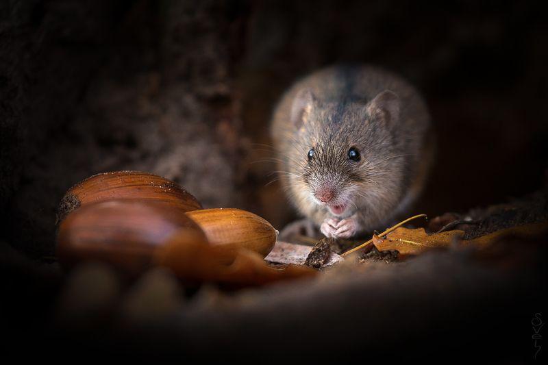 полевая мышь, полёвка \
