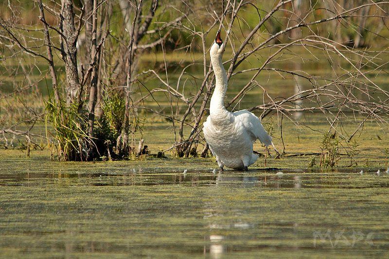 животные, птицы, , лебедь, шипун, озеро На диком прудуphoto preview