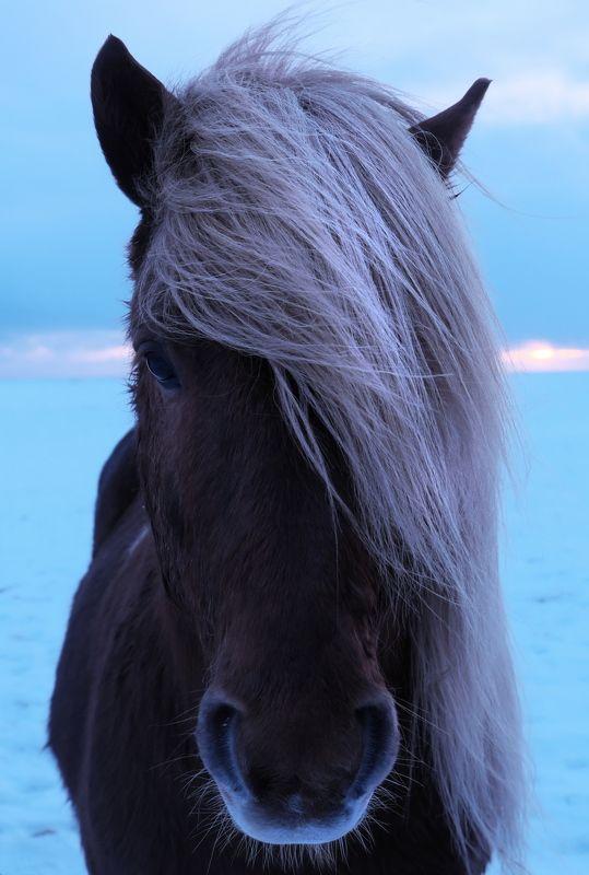 портрет, лошадь, север, арктика, исландия, portrait, horse, north, arctic, iceland Портрет блондинкиphoto preview