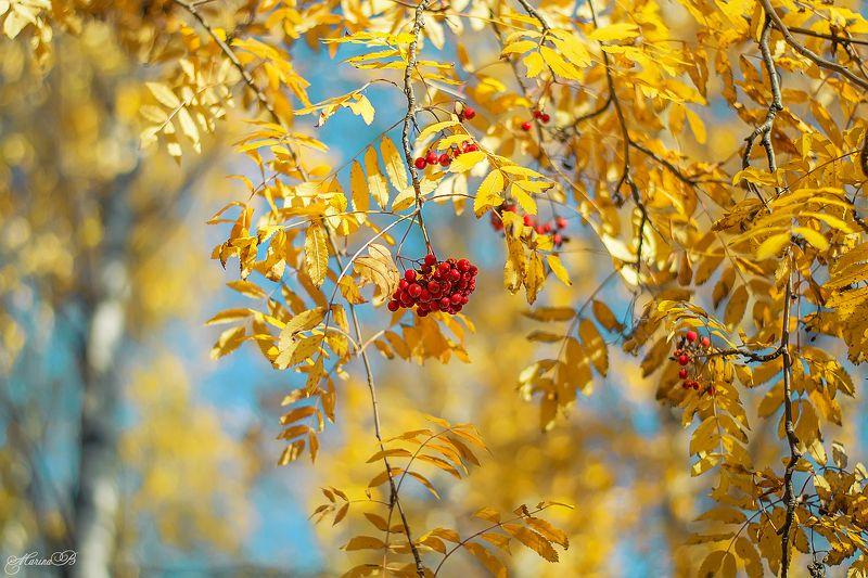 осень, солнце, рябина, ягоды Рябиновое настроениеphoto preview