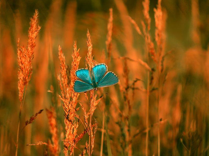 бабочка, макро, голубянка Про бабочкуphoto preview