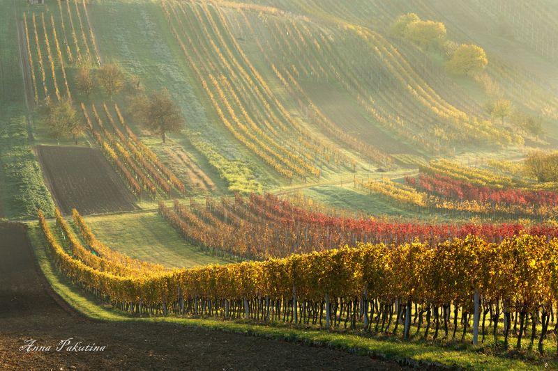 Виноградники Моравииphoto preview