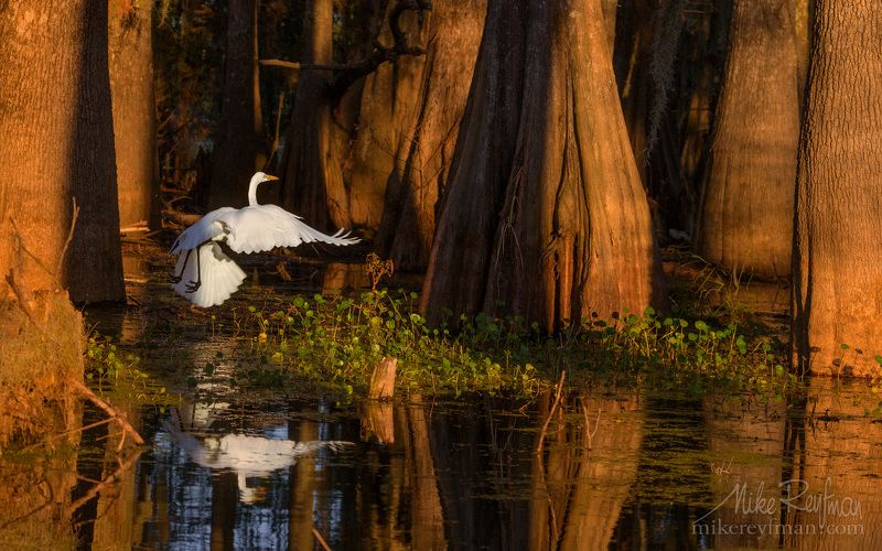 cypress tree; tupelo tree; bald cypress; taxodium distichum; bald cypress knees; spanish moss; tillandsia usneoides; loisiana; texas; lake martin; caddo lake; lake fausse; atchafalaya river basin; big cypress bayou area; government ditch; great blue heron Полет в волшебном лесуphoto preview