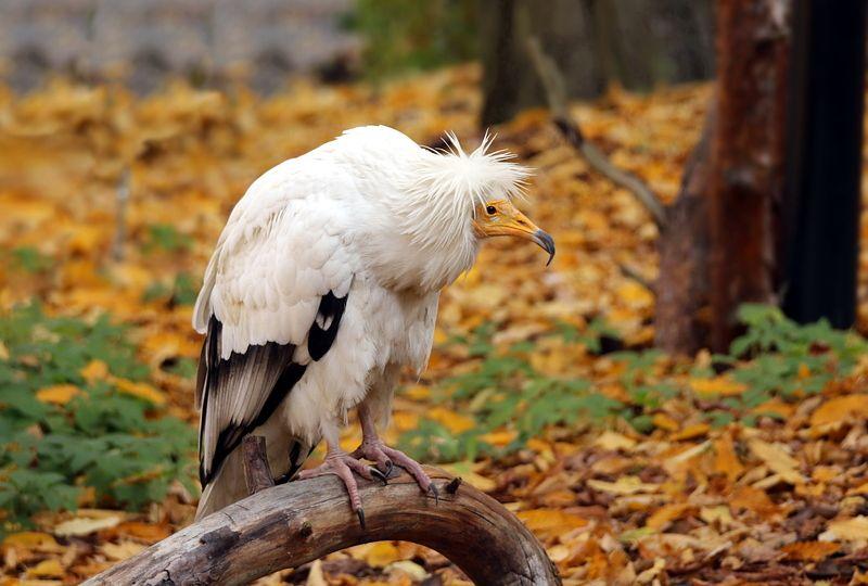 зоопарк, калининград, птицы, стервятник Стервятникphoto preview