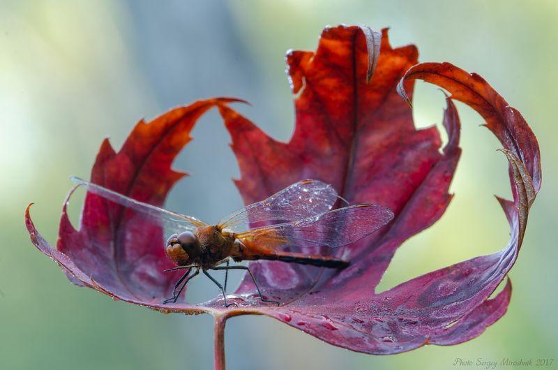 стрекоза, природа, маро, весна, сентябрь, красиво, украина, крылья, листок На взлётеphoto preview