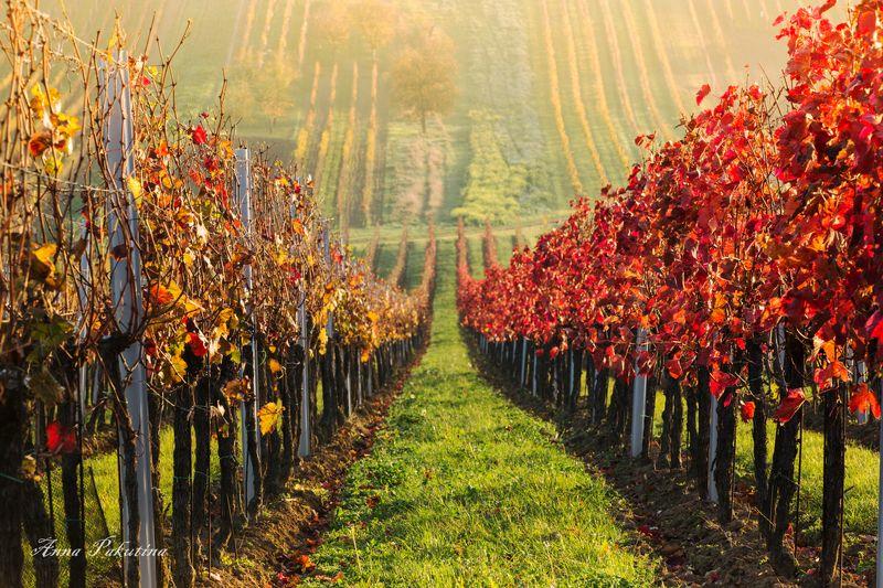 В виноградниках Моравииphoto preview
