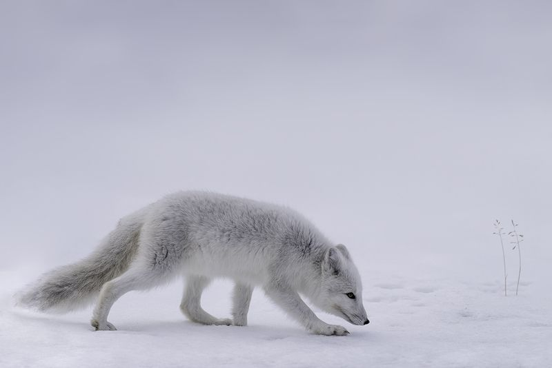 animals, arctic fox, norway, dovre Arctic foxphoto preview