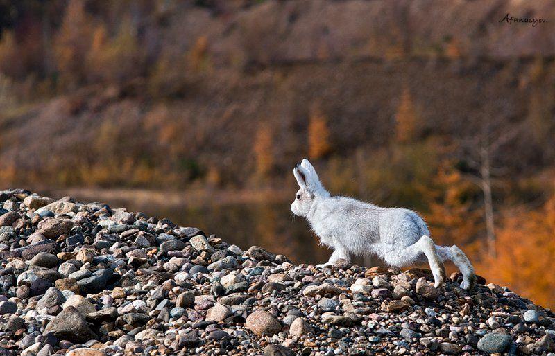 заяц, магадан, колыма, осень, животные,  лапки, уши, глаза, заяц беляк, ***photo preview