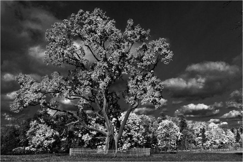 гатчина,парк,серебряный,дуб Серебряный дуб на Серебряном лугу...photo preview