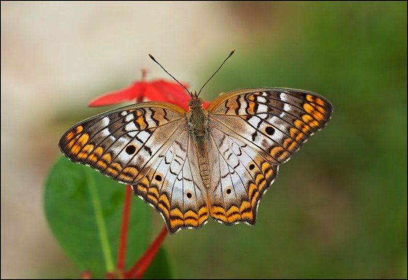 макро, бабочка White Peacock (Anartia jatrophae)photo preview