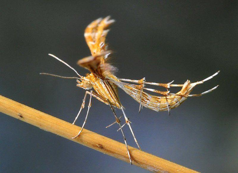 пальцекрылка, cnaemidophorus, rhododactyla Летательный аппаратphoto preview