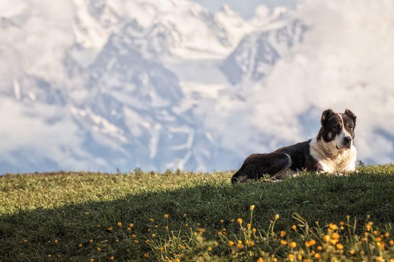 Кавказ,горы,кавказская овчарка. Охраняю...photo preview
