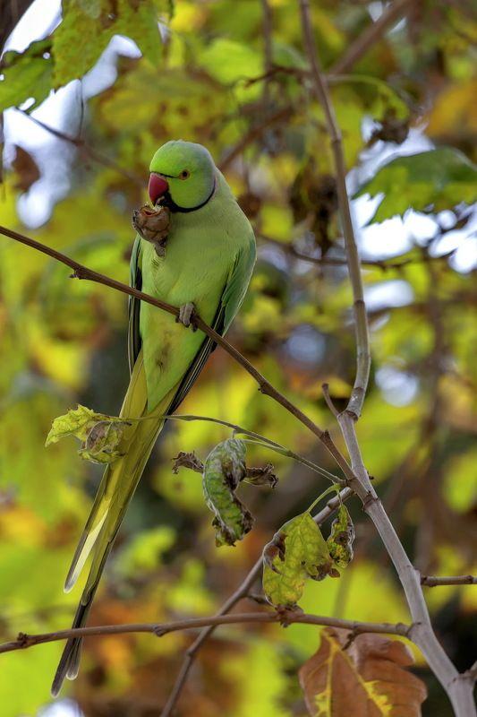 Ну где еще проверить супер зум , как не на попугаях :) Сигма 150-600 с Бакинским осенним попугаем .Полный кадр без кропа.photo preview