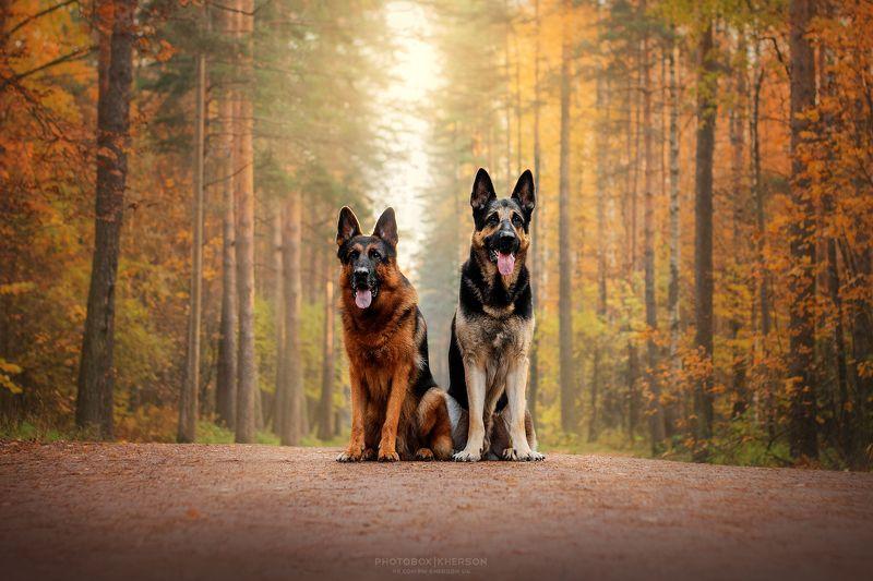 собака, анималистика, осень Овчаркиphoto preview