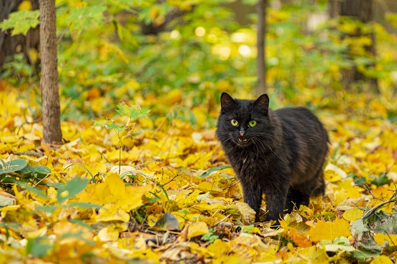cat, fall, autumn, кот, кошка, осень, глаза, жёлтый, зелёный, yellow, green [eyes of fall]photo preview