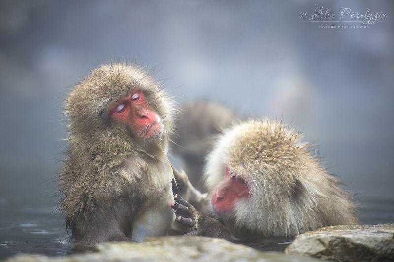 Спа снежных обезьянphoto preview