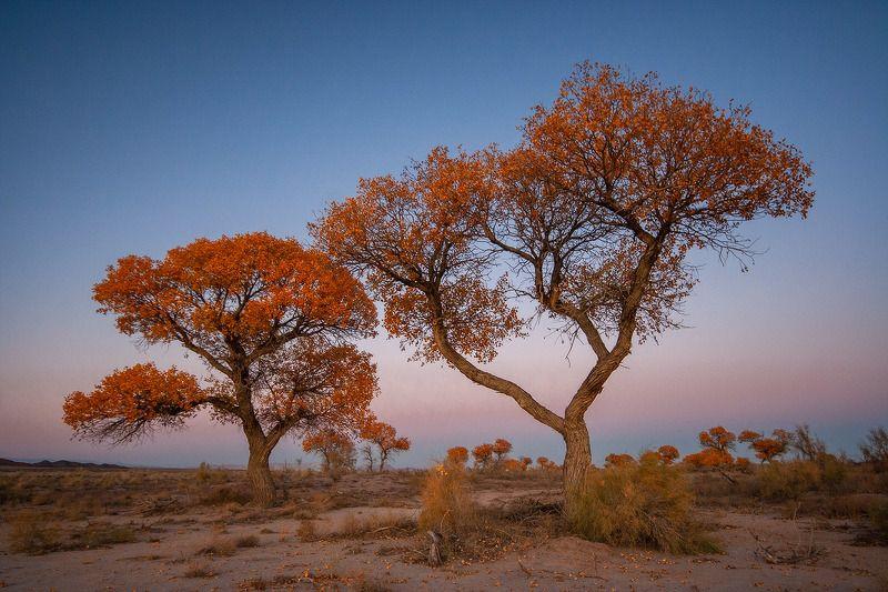 Туранга, дерево в степи, дерево в песках, желтое дерево, желтая листва, степь, пески, осень, осеннее, казахстан. алтын-эмель photo preview