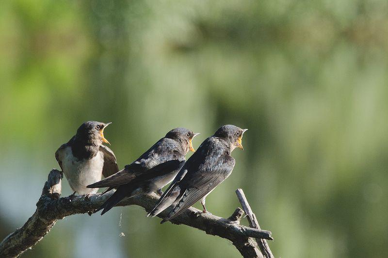 деревенские ласточки, птицы На три голосаphoto preview
