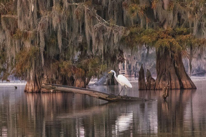 кипарис, болото, осень, цапля Цапля в интерьереphoto preview