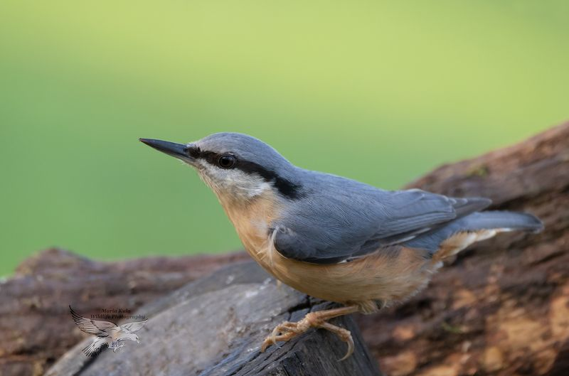 nuthatch, birds, nature, wildlife, woods, canon, sigma Nuthatchphoto preview