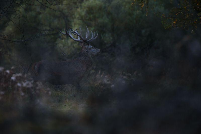 благородный олень, олень, лес, гон, калужская область, рога Благородный оленьphoto preview