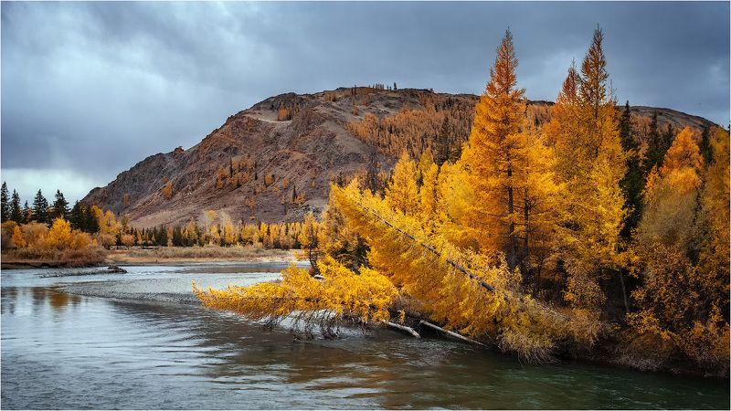река горы алтай вода  осень золото лиственница чуя,осень,деревья,небо,сказка Чуя в золотом убранстве.photo preview