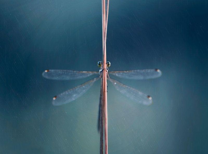 макро, природа, стрекоза, стрекоза стрелка photo preview